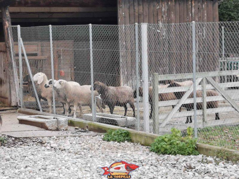 Des moutons au parc botanique de Geneve