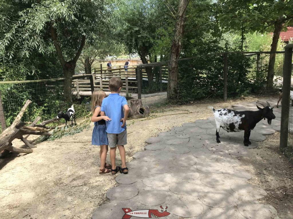 Des enfants proches de chèvres.