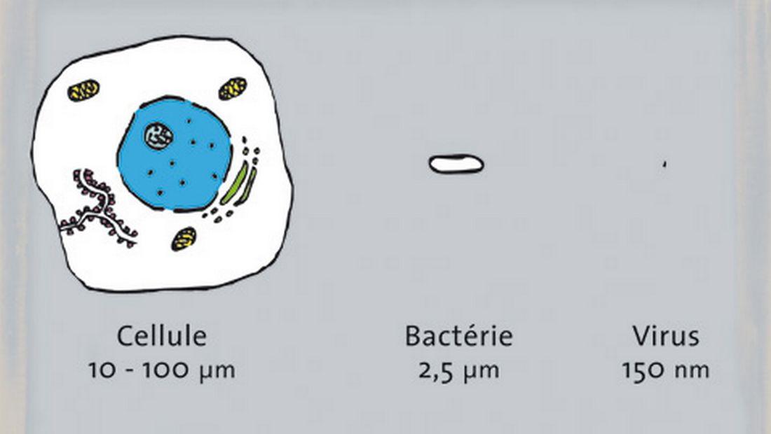 La différence de taille entre une cellule, une bactérie et un virus.