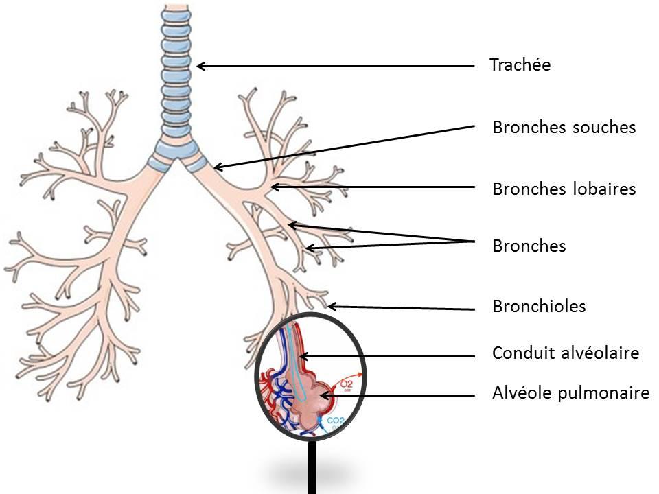 Un schéma qui montre l'échange gazeux au niveau d'une alvéole pulmomaire.