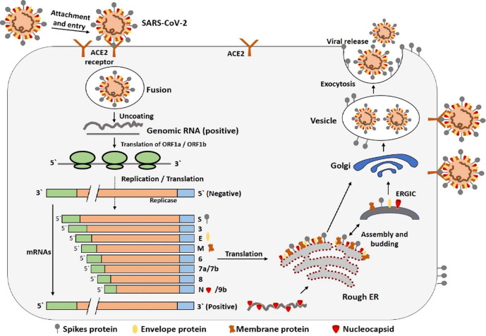 Le détail du cycle de reproduction du coronavirus SARS-CoV-2
