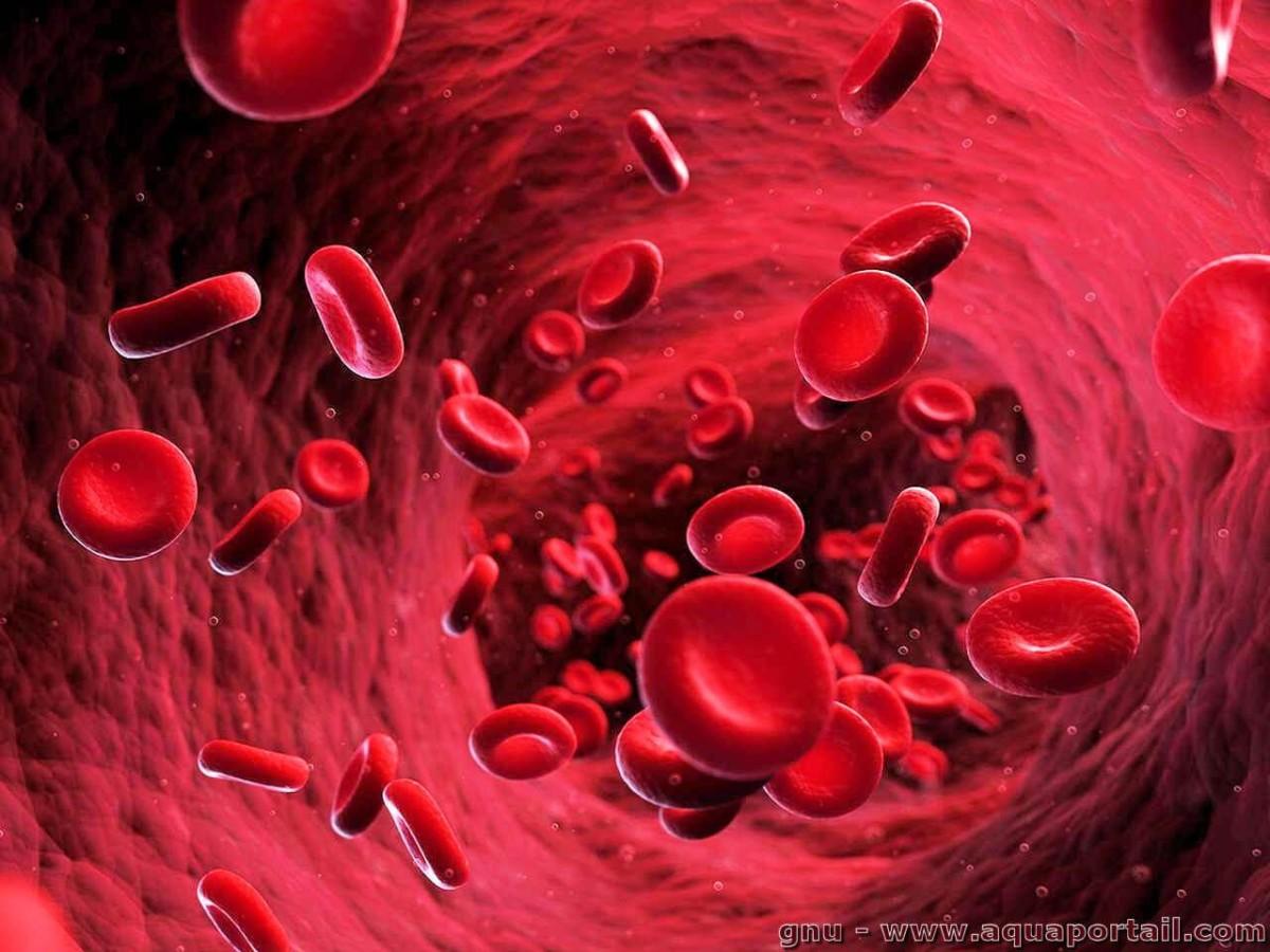 Des globules rouges circulant dans un vaisseau sanguin.