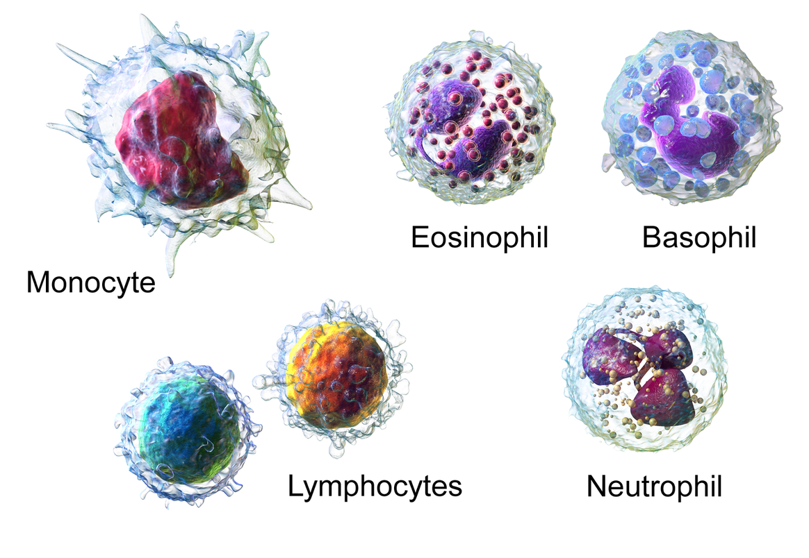 Les différents types de leucocytes ou globules blanc dont font partie les lymphocytes.