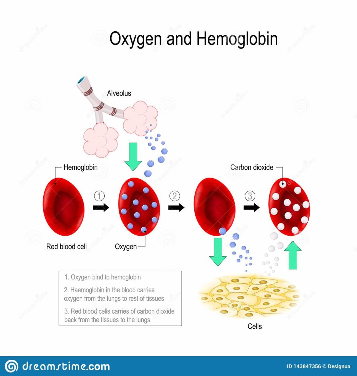incorporation de l'oxygène dans le sang