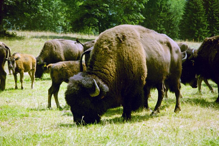 Les bisons du Parc à Bison.