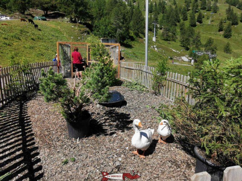 L'enclos des oies, canards et lapins dans lequel on peut entrer. mini zoo d'Ovronnaz