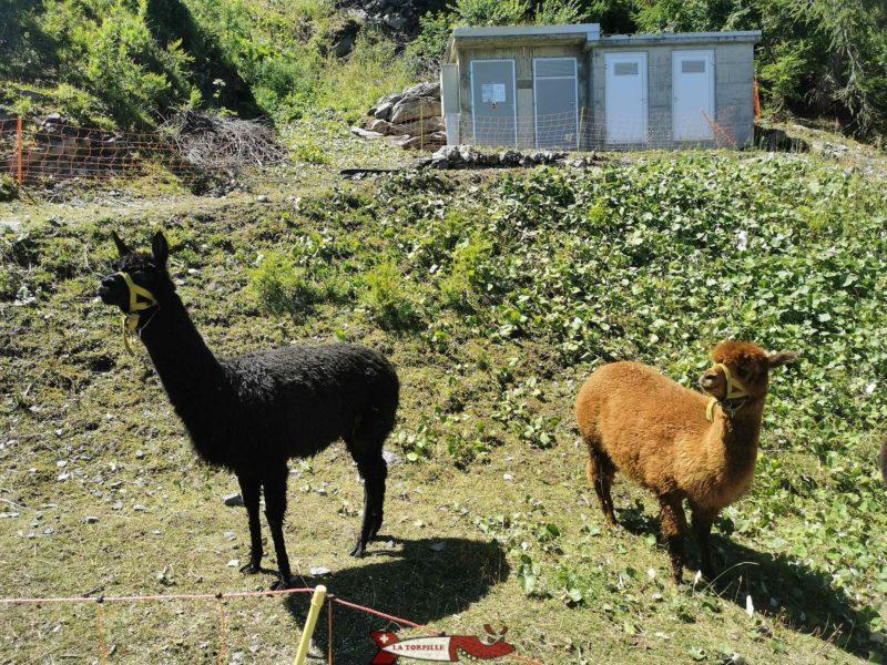 Les alpagas mini zoo d'Ovronnaz