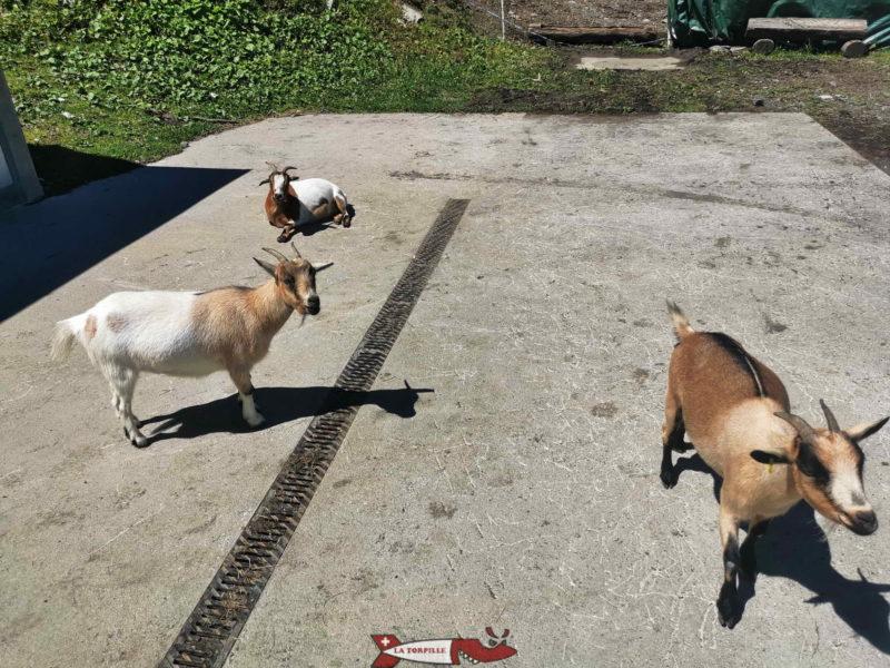 Les chèvres. mini zoo d'Ovronnaz