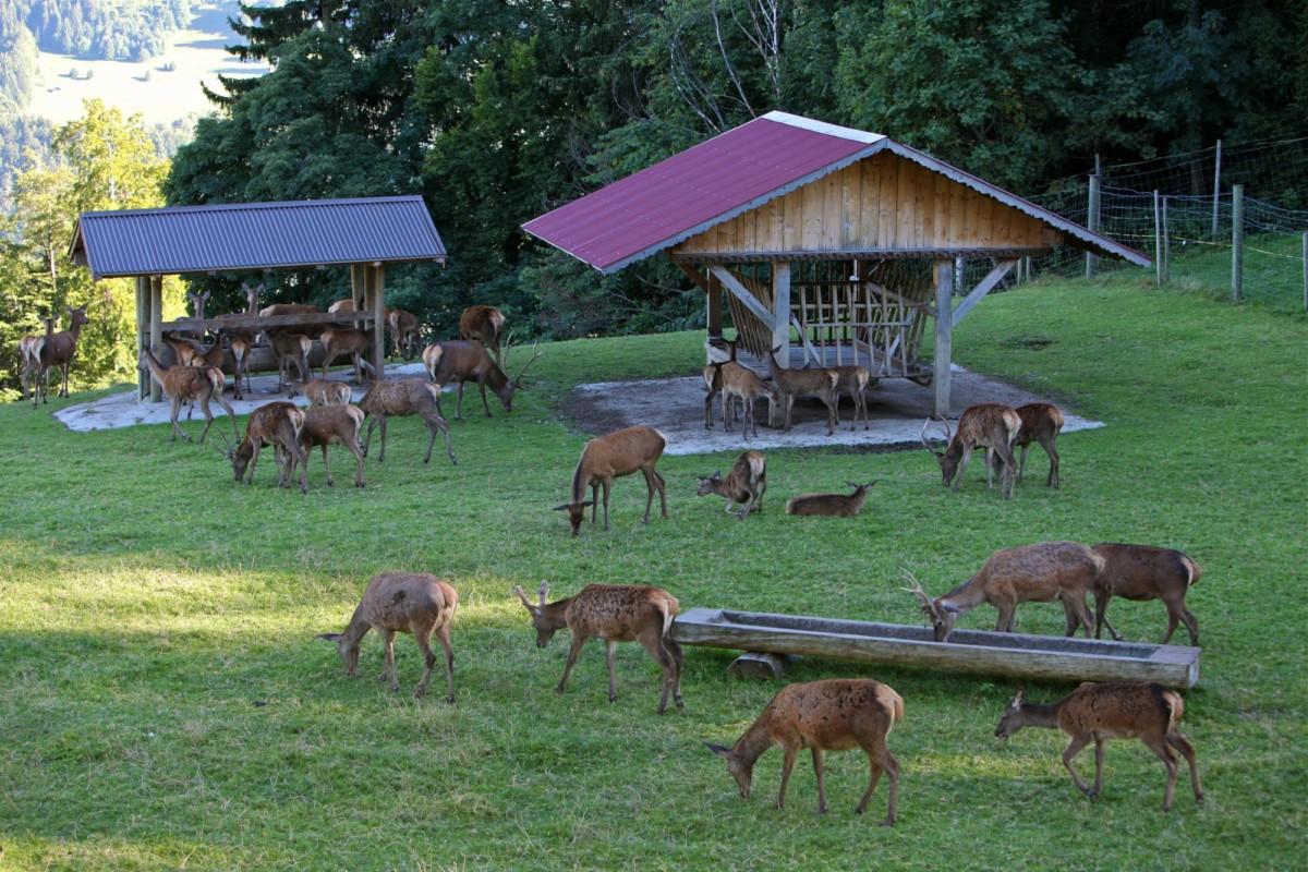 Le parc aux biches de Leysin au-dessus d'Aigle dans les Alpes vaudoises.