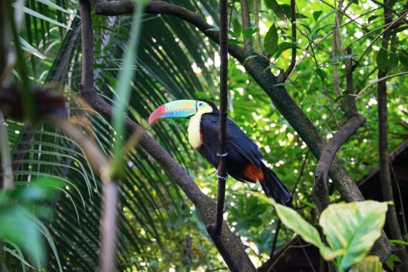Des toucans