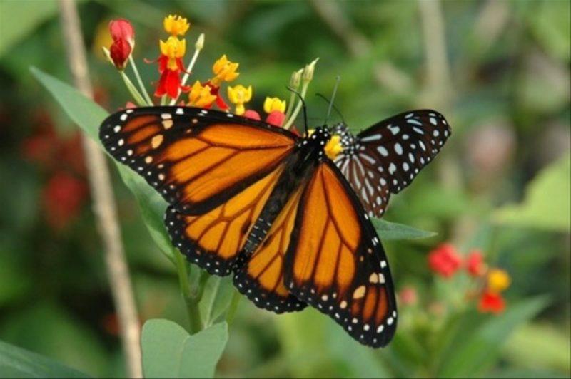 Les papilons sont l'attraction phare du papiliorama.