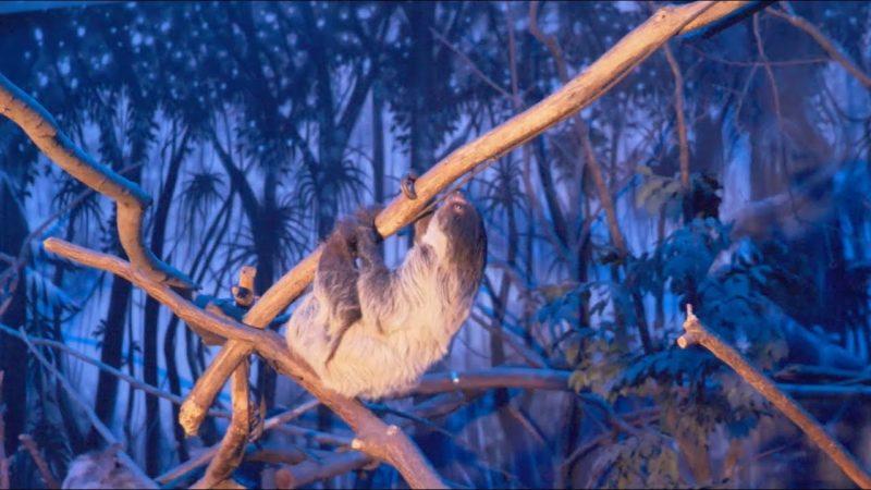 Un paresseux sous la lumière bleue du nocturama.